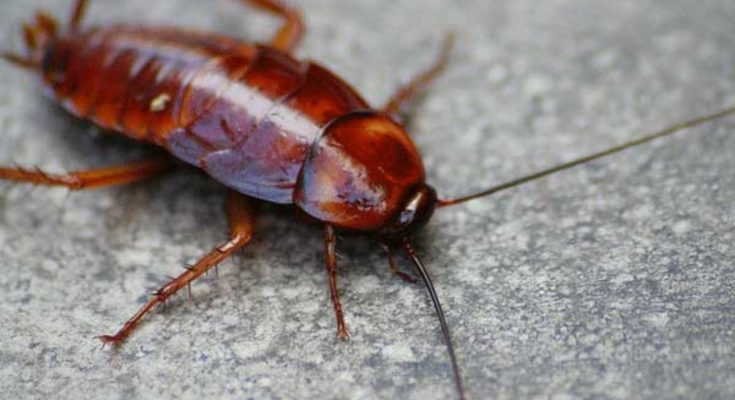 Do Cockroaches Feel Pain
